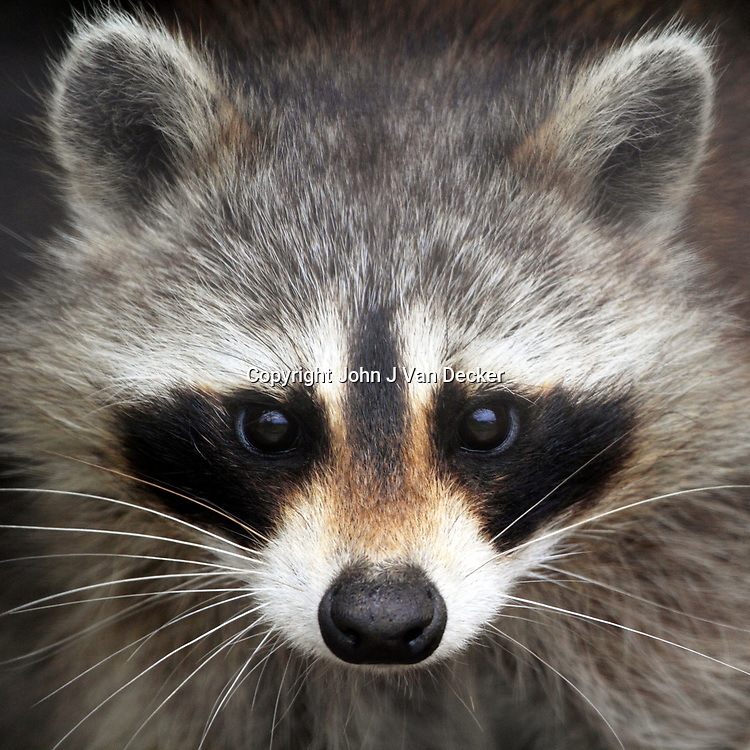 North American Raccoon, Procyon lotor, portrait