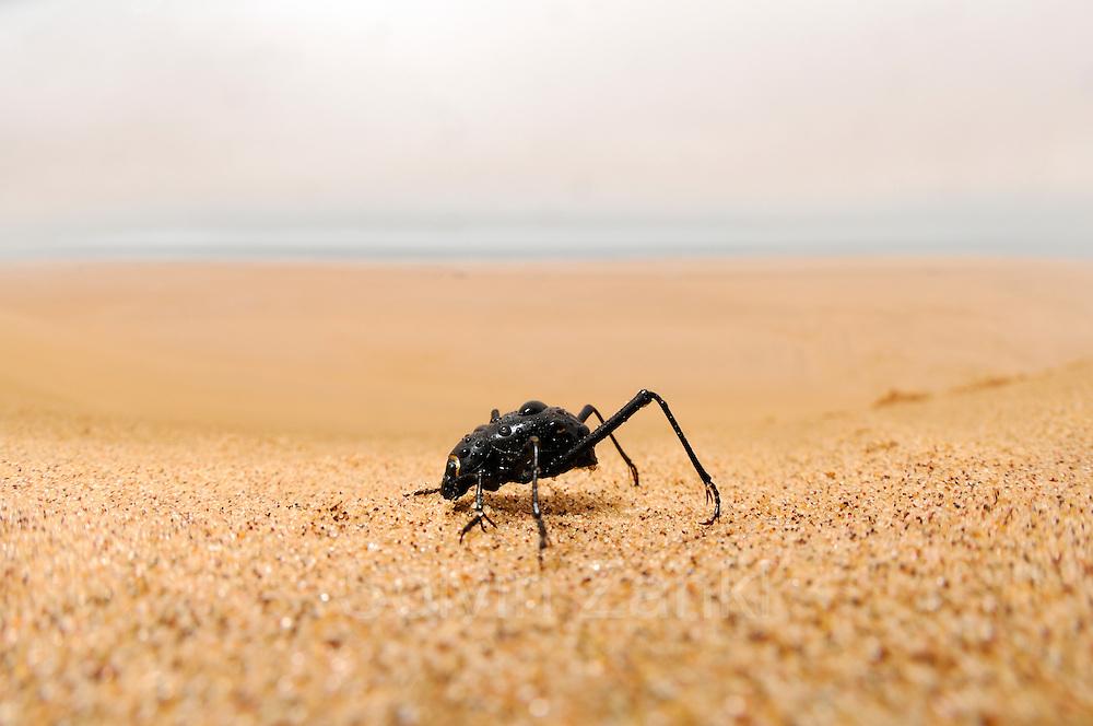 Der an manchen Tagen vom Meer her weit landeinwärts ziehende Seenebel ist für die Wüstenbewohner der Namib eine lebenswichtige Wasserquelle. Basierend auf den extrem seltenen und nur sehr lokalen Regenfällen ist ein Überleben kaum möglich, daher betätigen sich Pflanzen und Tiere in dieser heißen Region als Nebelfänger. Einer davon ist der Nebeltrinker-Käfer (Onymacris unguicularis), der gemeinsam mit etwa zweihundert verschiedenen Arten von Schwarzkäfern die Dünen der Namib bewohnt. Für den Laien fast gar nicht von seinen Verwandten zu unterscheiden offenbart diese Käferart in nebelverhangenen Morgenstunden ihr spezialisiertes Verhalten: Am höchsten Grat eines Dünenkammes reckt der Käfer mit Hilfe seiner langen Hinterbeine den Hinterleib in die Höhe, so dass die daran kondensierenden Wassertröpfchen am Körper entlang zur Mundöffnung rinnen.  Fog Basking Beetle or Darkling Beetle (Onymacris unguicularis), drinking, Namib Desert, Namibia