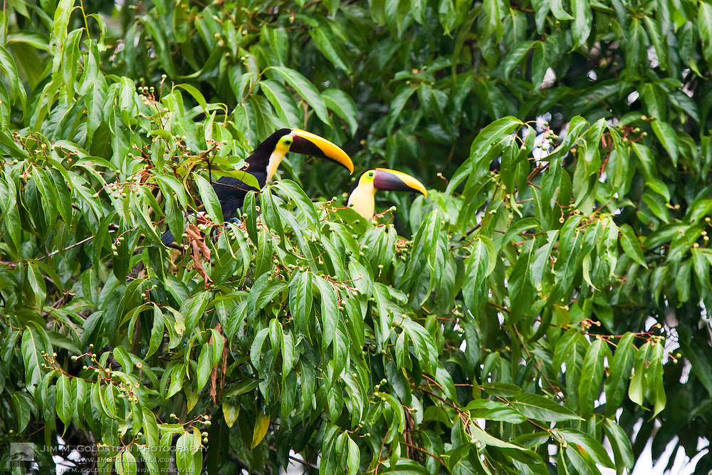 A pair of Chestnut-mandibled Toucans (Ramphastos swainsonii) rest in a tree with in the rainforest of Corcovado National Park, Costa Rica