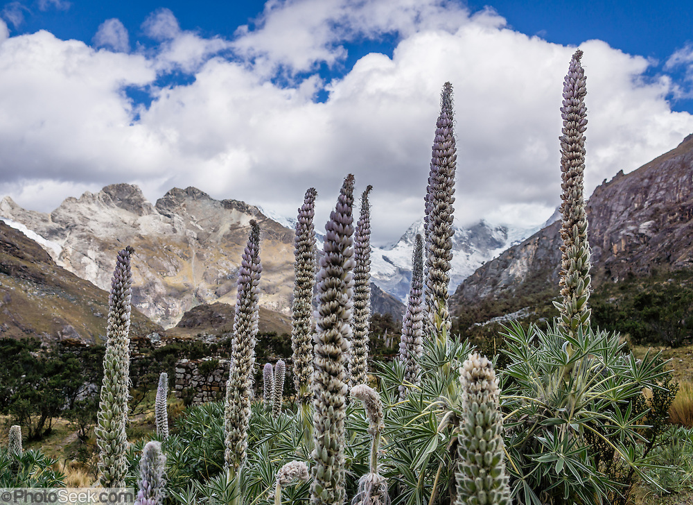 The Lupinus weberbaueri plant in the Andes has a giant flower stalk that can grow nearly 2 meters high. Lupinus (common name lupin or lupine) is a genus in the pea family (also called the legume, bean, or pulse family, Latin name Fabaceae or Leguminosae). As a day trip by car and foot from Huaraz, hike to Lake 69 (4600 meters elevation, 8 miles round trip with 800 meters gain) in the Cordillera Blanca, Andes Mountains, Peru, South America.