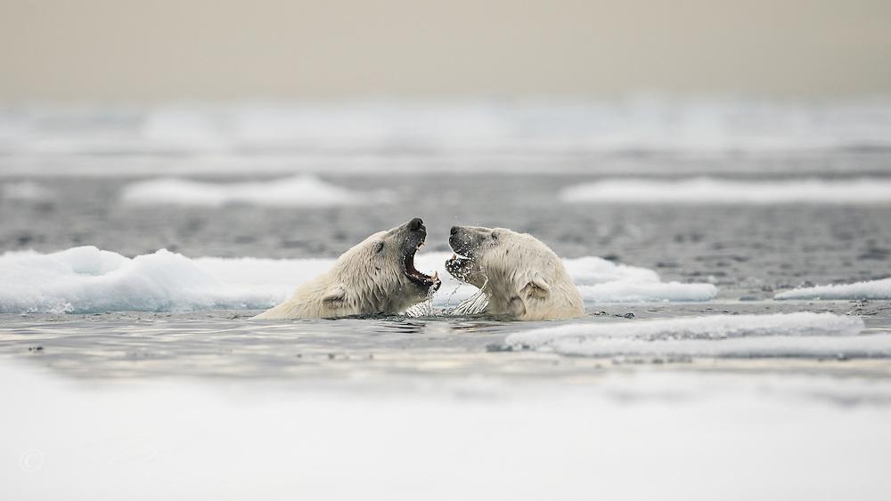 Polar bears (Ursus maritimus) courting on ocean ice north of Spitsbergen.