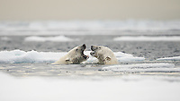 Polar bears (Ursus maritimus) courting on ocean ice north of Spitsbergen.