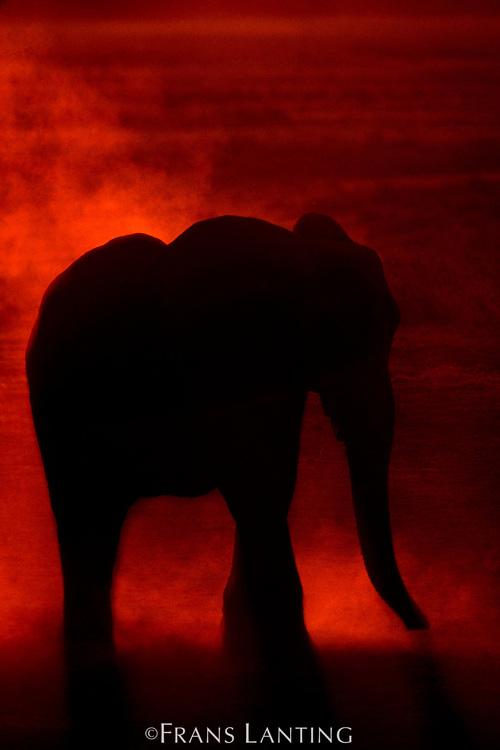 African elephant at dusk, Loxodonta africana, Okavango Delta, Botswana