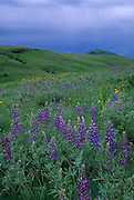 Tallcup lupine and other spring blooms dominate the bunchgrass prairie at The Nature Conservancy's Zumwalt Prairie Preserve. Zumwalt Prairie is the largest remaining tract of native bunchgrss prairie in North America.