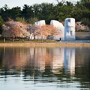 The MLK Memorial stands amongst cherry blossoms several days after the peak bloom in 2015.