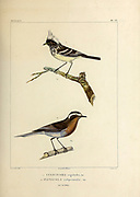 hand coloured sketch Top: pied-crested tit-tyrant (Anairetes reguloides [Here as Culicivora reguloides]) Bottom: rufous-breasted chat-tyrant (Ochthoeca rufipectoralis [Here as Fluvicola rufipectoralis]) From the book 'Voyage dans l'Amérique Méridionale' [Journey to South America: (Brazil, the eastern republic of Uruguay, the Argentine Republic, Patagonia, the republic of Chile, the republic of Bolivia, the republic of Peru), executed during the years 1826 - 1833] 4th volume Part 3 By: Orbigny, Alcide Dessalines d', d'Orbigny, 1802-1857; Montagne, Jean François Camille, 1784-1866; Martius, Karl Friedrich Philipp von, 1794-1868 Published Paris :Chez Pitois-Levrault et c.e ... ;1835-1847