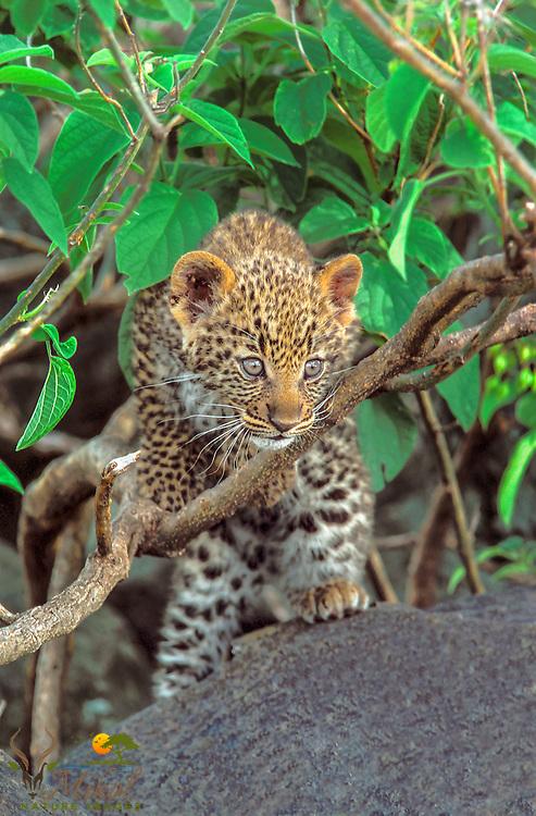 Leopard cub climbing over branch