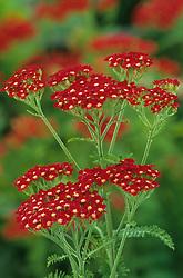 Achillea millefolium 'Paprika' - Yarrow