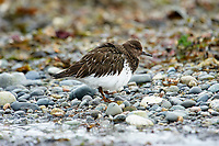 Black Turnstone (Arenaria melanocephala),  Qualicum Beach , British Columbia, Canada