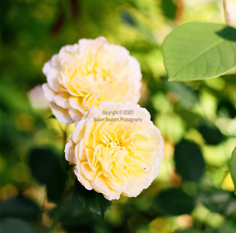 A yellow rose in the garden of Suzinn Weiss in Portland, OR