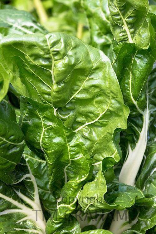Swiss chard, Poiree leaf-beet, Beta vulgaris, variety Cicla in organic vegetable garden in UK