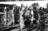 Fish hanging after fishing trip in the 1920s or 1930s.