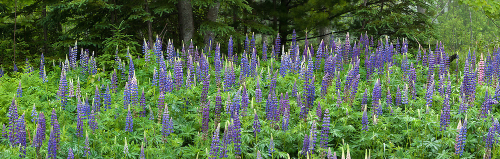 Soft overcast light after gentle rain saturates the rich colors of lupines in a woodland setting on Mt. Desert Island, Maine, USA