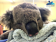 Touching pictures of Jeremy the koala recovering after burning all four of his paws trying to escape the devastating SA bushfires <br /> <br /> A young koala is in recovery after suffering second-degree partial thickness burns on all four of his paws from the devastating bushfires in South Australia.<br /> Heartbreaking images of Jeremy the koala have gone viral since he was treated at Australian Marine, Wildlife Research and Rescue Organisation (AMWRRO) yesterday.<br /> It was a timely reminder that the bushfires have also destroyed the homes of our native wildlife.<br /> While carers say it's too early to predict whether Jeremy will make a full recovery, he is currently 'doing very well and is in great spirits'.<br /> Aaron Machado from AMWRRO said, Jeremy, aged about two-years-old, is still in a critical condition.<br /> 'He's in a lot of pain and severely dehydrated but he's stabilised and doing okay for now,' he said.<br /> <br /> 'So he's being closely monitored by carers at this stage.<br /> 'We're unsure whether we can expect a full recovery from him. But he certainly has the potential.'<br /> <br /> This comes as Wednesday saw the biggest firefighting effort since the fire began on Friday afternoon, with a total of 31 aircraft and 110 trucks on the ground. <br /> <br /> There were 600 firefighters worked to battle 40 degree temperatures and 30 kilometre per hour winds on Wednesday, in an effort to take control of the raging bushfires.<br /> Country Fire Service chief officer Greg Nettleton confirmed that 95 per cent of the fire has been contained by Wednesday afternoon, with only two 'hotspot' areas of concern remaining.  <br /> Over 12,500 hectares of land has been destroyed or damaged in the blaze so far, including 32 homes, 125 other buildings and four businesses.<br /> As of Wednesday morning, over $13 million worth of insurance claims had been lodged by vicitms. <br /> <br /> Photo Shows: Aaron Machado from AMWRRO said, young Jeremy, aged about two-years-old, is still in a critical condition<br /> ©Exclusivepix Media