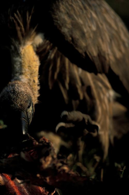 Kenya, Masai Mara Game Reserve, Close-up of Lappet faced Vulture (Aegypius tracheliotus) feeding on Wildebeest kill