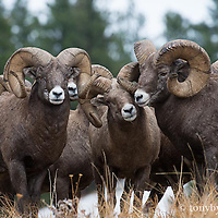 big group of big horn rams