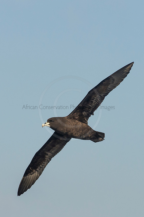 White-Chinned Petrel in flight, Cape Canyon Trawl Grounds, South Africa