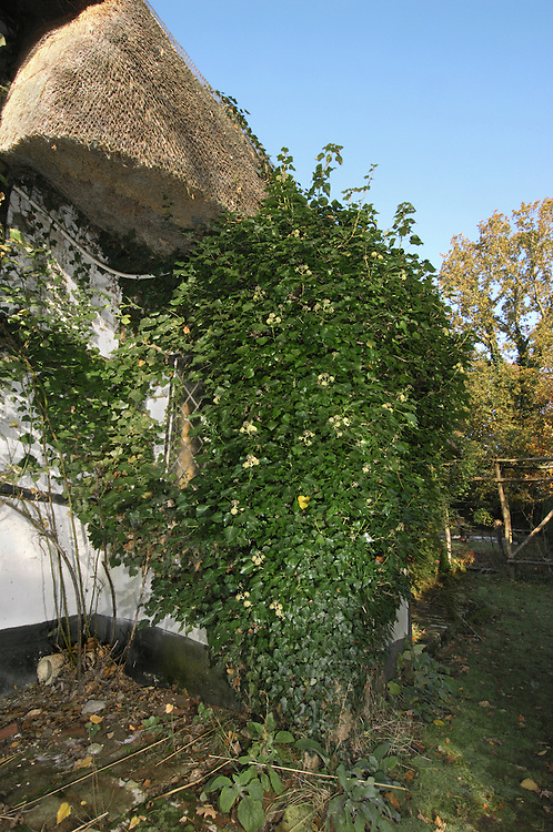 IVY Hedera helix (Araliaceae) Height to 20m<br /> Evergreen, self-clinging climber that also carpets the ground. Found in woodlands, hedgerows and scrub. FLOWERS are yellowish green and 4-parted; borne in globular heads (Sep-Nov). FRUITS are berries that ripen purplish black. LEAVES are glossy, dark green and 3- or 5-lobed with paler veins. STATUS-Widespread and common.