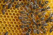 Honey bee (Apis mellifera), Kiel, Germany | Die Königin der Honigbiene (Apis mellifera) umringt von den Arbeitern. Sie wird von ihnen umsorgt, gefüttert und über die Waben geleitet.  Kiel, Deutschland