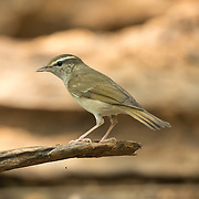 The pale-legged leaf warbler (Phylloscopus tenellipes) is a species of Old World warbler in the Phylloscopidae family.