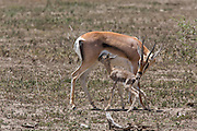 Newborn Thompson's gazelle nursing