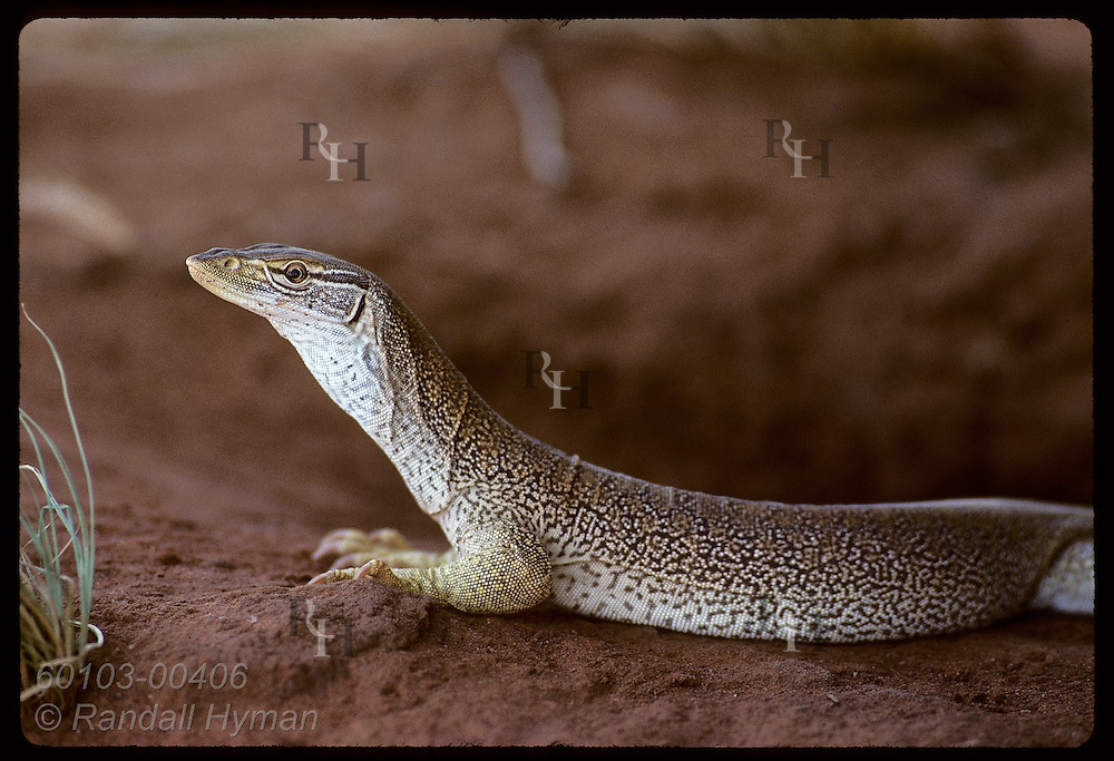 Goanna lizard, nearly one meter long, rests in afternoon shade on sandy soil of Tanami Desert. Australia