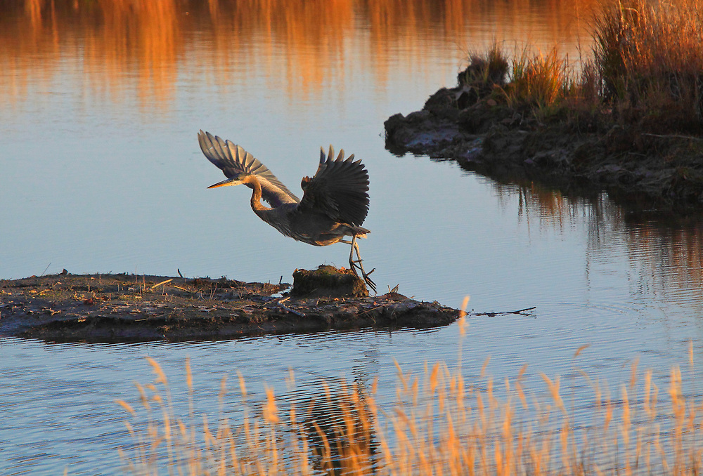 (Ardea herodias) A rare sight in Anchorage, Great Blue Heron taking off in a warm sunset setting at Potter Marsh with grass reflections, near Anchorage, Alaska just off the Seward Highway