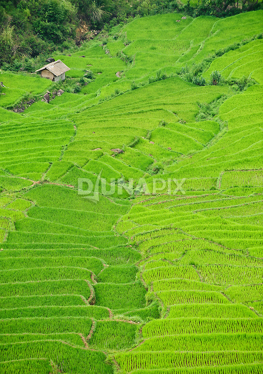 Rice fields between Ruten and Bajawa.