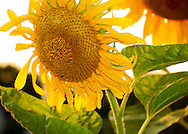 Sunflower smiling in the sun