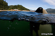 Luna, a lone male orca, or killer whale, Orcinus orca<br /> that separated from its pod, spyhops near a logging barge,<br /> Vancouver Island, British Columbia, Canada