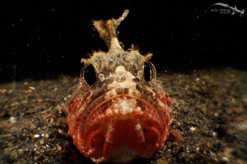 Whitespace waspfish (Richardsonichthys leucogaster). Lembeh Strait, Indonesia. echeng100306_0253702