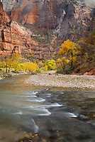 Autumn along the Virgin River, Zion National Park Utah USA