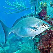 Brassy Chub inhabit reefs and adjacent areas in Tropical West Atlantic, also circumtropical; picture taken Grand Turk.