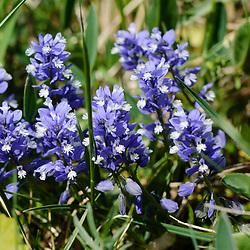 Polygalaceae, Vleugeltjesbloemfamilie