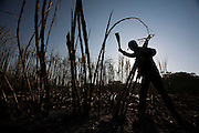Carneirinho_MG, Brazil. <br /> <br /> Plantacao de cana-de-acucar em Carneirinho, Minas Gerais.<br /> <br /> Plantation of sugar cane in Carneirinho, Minas Gerais.<br /> <br /> Foto: LEO DRUMOND / NITRO
