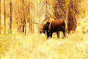Bull Moose Entering Golden Meadow