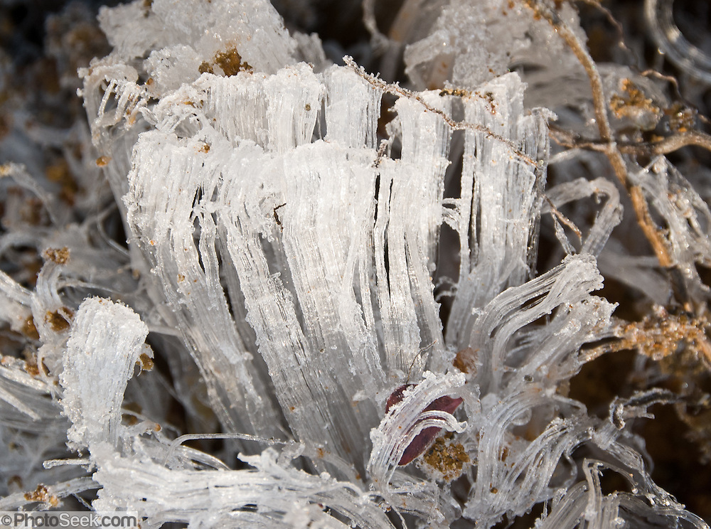 Delicate frost heaves crystalize a couple of inches high on a freezing morning in Heather Meadows on the Chain Lakes Loop Trail, in Mount Baker Snoqualmie National Forest, Washington, USA, forming towers of ice one to three inches high.