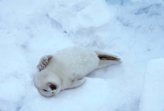 Harp Seal, (Pagophilus groenlandicus) Pup on ice pack often called a white coat, laying on its back. Spring. Nova Scotia. Canada.