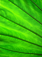 Green Leaf<br />