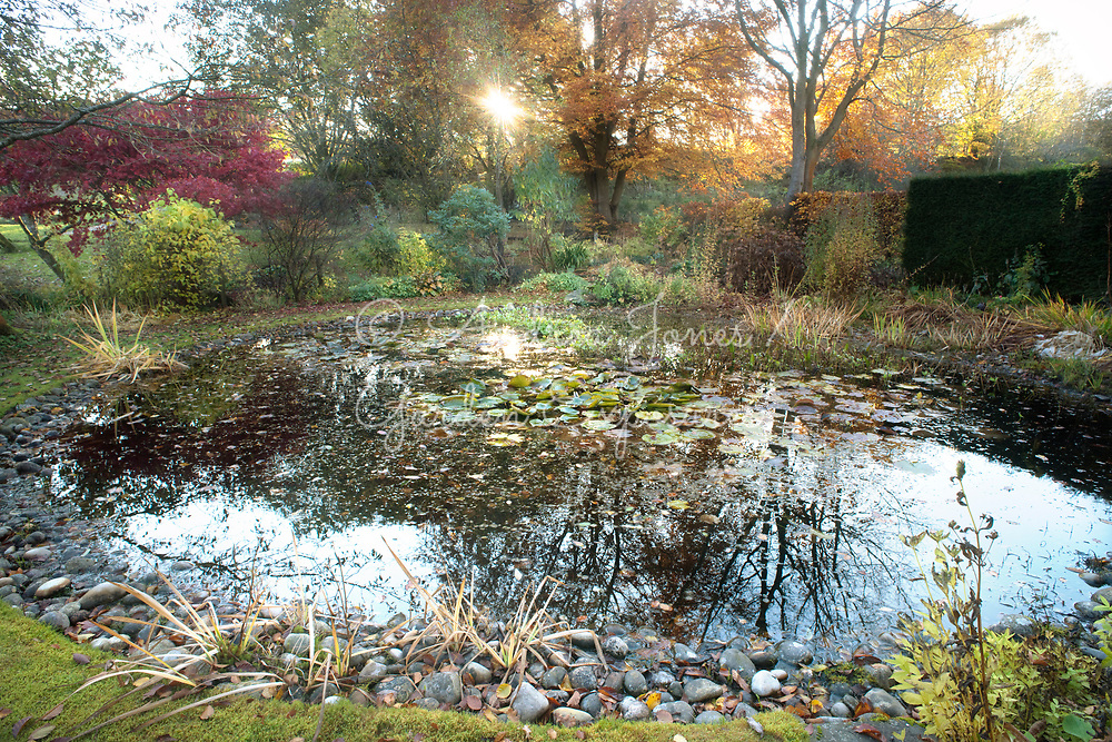 The pond with waterlilies, Japanese maple, shrubs, yew and beech hedges
