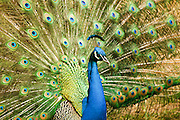 Male Peacock with spread tail