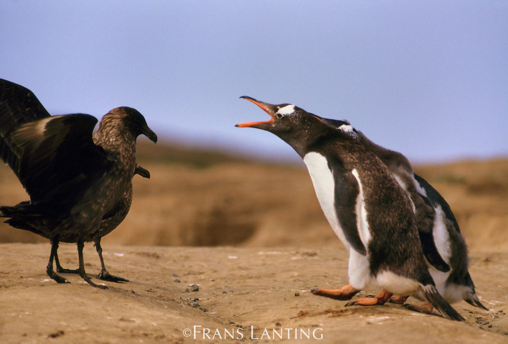 Gentoo penguins, Pygoscelis papua, defending against Antarctic skua, Catharacta antarctica, Falkland Islands