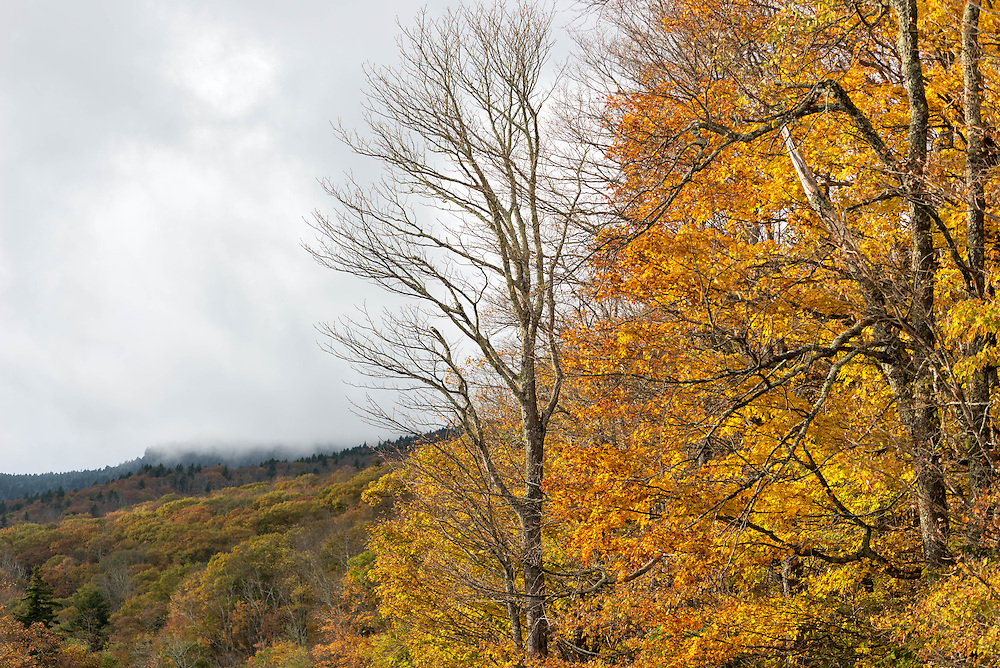 Golden fall colors emerge along the Blue Ridge Parkway in North Carolina