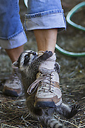Raccoon <br /> Procyon lotor<br /> Eight-week-old orphaned baby clings to leg of volunteer who gently shakes the baby off to discourage this behavior during re-wilding process<br /> WildCare, San Rafael, CA
