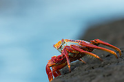 Red rock crab posing on a rock at Santiago Island, Galapagos | Rød klippekrabbe som poserer på et berg på Santiago øya på Galapagos.