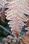 HOAR FROST ON BRACKEN Pteridium aquilinum