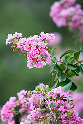 Pink Crepe Myrtle in Bloom