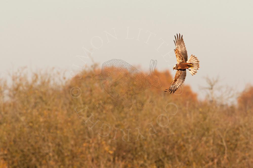 Marsh Harrier (Circus aeruginosus) adult hunting, Norfolk, UK.