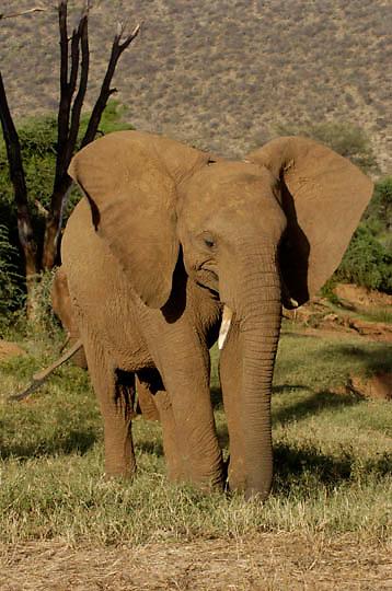 African Elephant ( Loxodanta africana) Samburu Game Reserve. Kenya. Africa.
