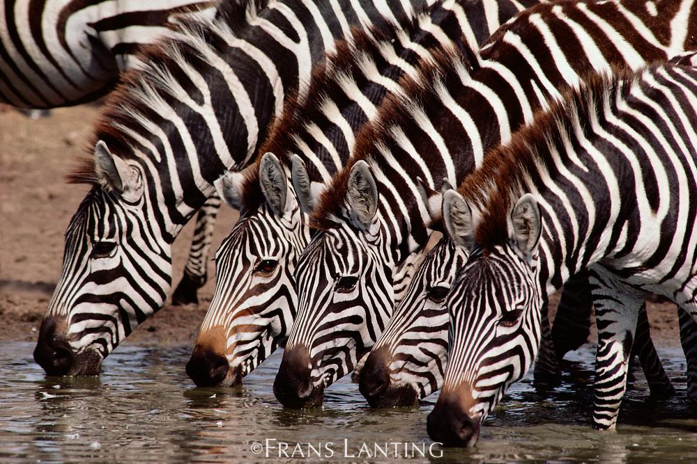 Zebras drinking, Masai Mara Reserve, Kenya